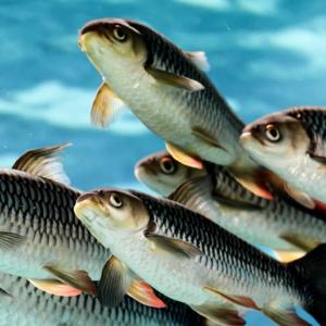 Аквакультура. Рыбоводство e1603900133924 Материалы научно-исследовательских работ в АПК