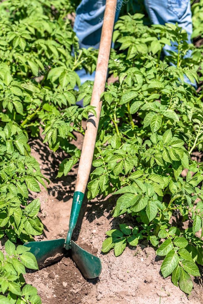 https://st3.depositphotos.com/9913494/16308/i/950/depositphotos_163089988-stock-photo-green-potato-plants-in-the.jpg