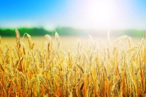 сорта яровой пшеницы