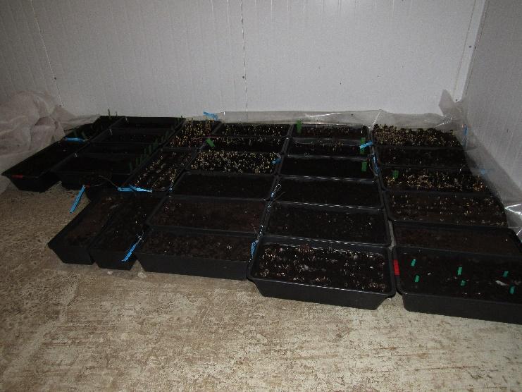 стратификация семян подвоев яблони