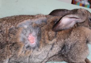 D:\Документы по вет.медицине\АСПИРАНТ\Материалы термические ожоги\кролики ожоги эксп 3,4,5\эксперимент 5\без лечения\27 августа\IMG_2810.JPG
