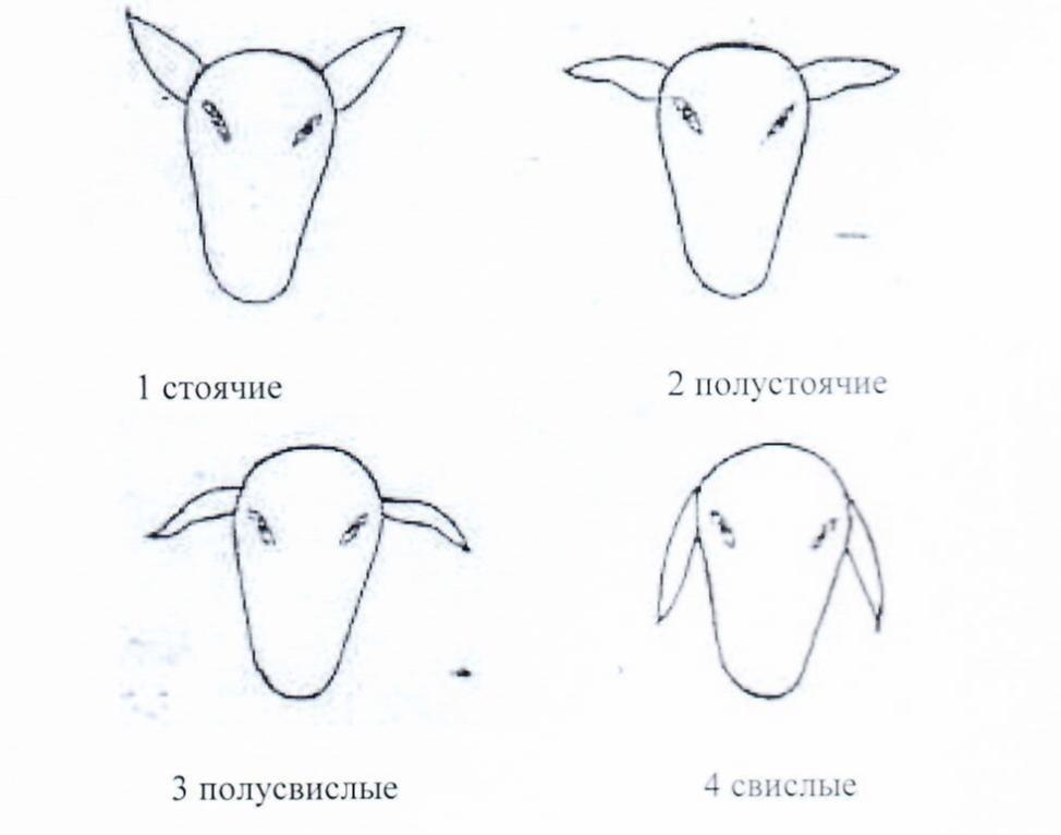 word image 1291 Создание нового высокопродуктивного конкурентоспособного шерстно-мясного типа тонкорунных овец кавказской породы, адаптированного к засушливым условиям Заволжья