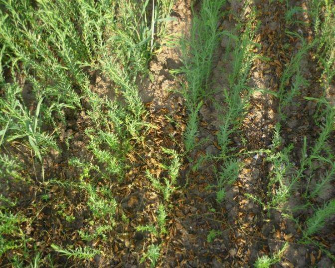 word image 135 Совершенствование элементов технологий возделывания масличных культур и проведение исследований свойств маслосемян отечественной и импортной селекции с целью их востребованности производителями растительных масел