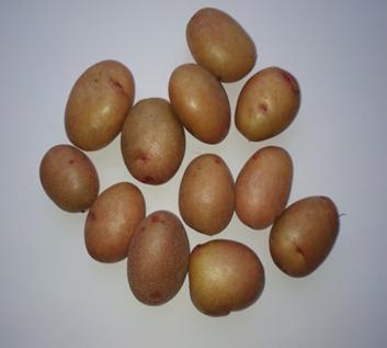 word image 1468 Исследование методов и средств биологизации технологии производства оригинального семенного картофеля с использованием биопрепаратов и сидеральных культур