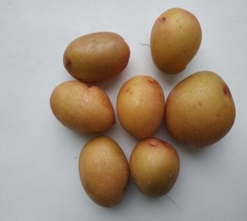 word image 1469 Исследование методов и средств биологизации технологии производства оригинального семенного картофеля с использованием биопрепаратов и сидеральных культур