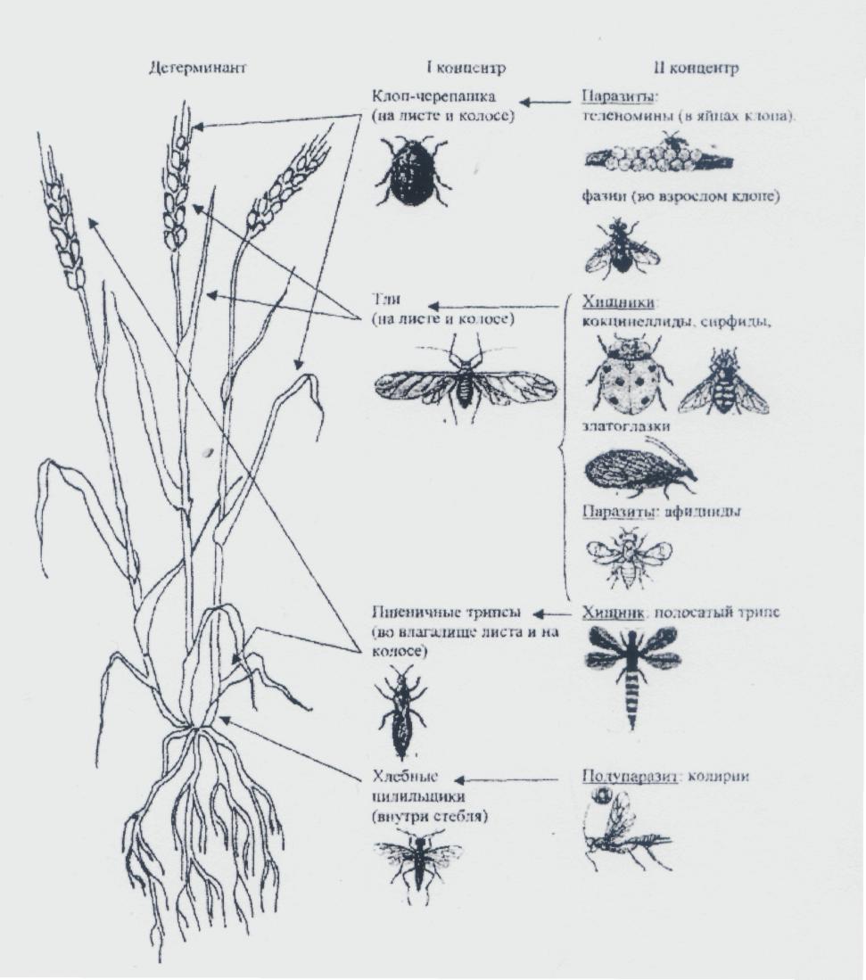 word image 1637 Разработка системы биологической защиты озимой пшеницы от комплекса вредителей