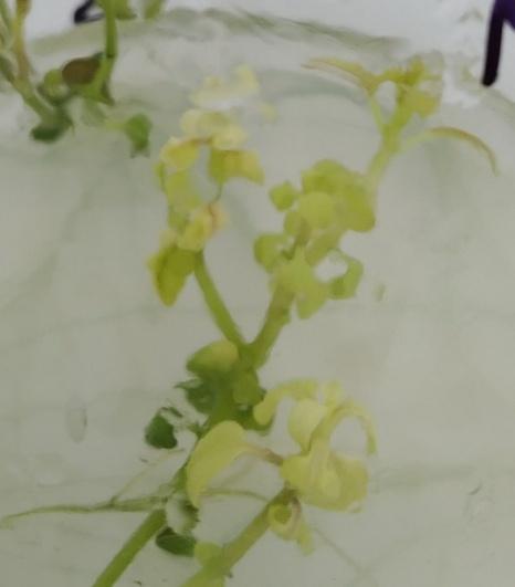 word image 17 Разработка методов индукции полиплоидии картофеля in vitro