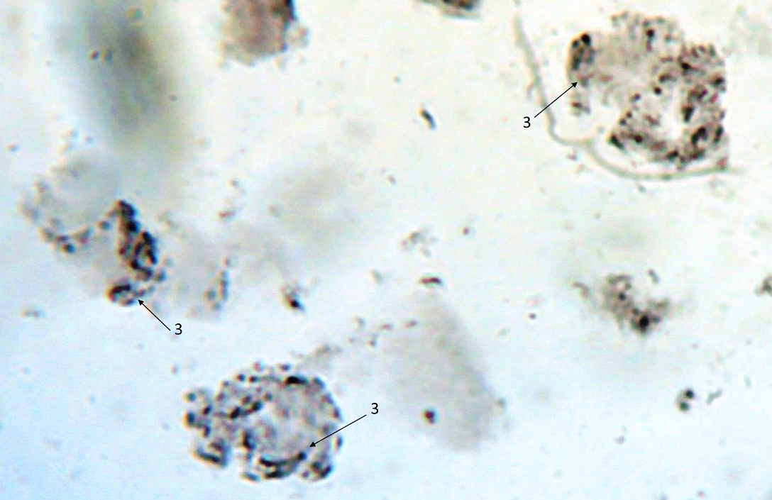word image 211 Разработка методов индукции полиплоидии картофеля in vitro