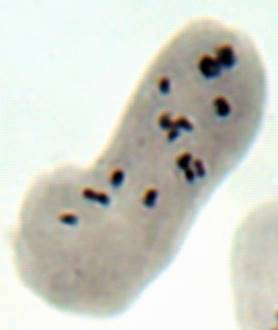 word image 24 Разработка методов индукции полиплоидии картофеля in vitro