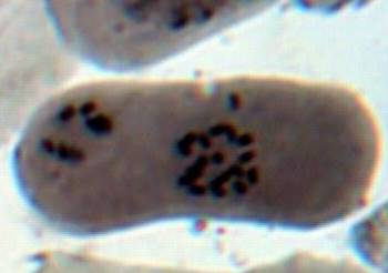 word image 26 Разработка методов индукции полиплоидии картофеля in vitro
