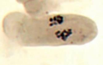 word image 27 Разработка методов индукции полиплоидии картофеля in vitro