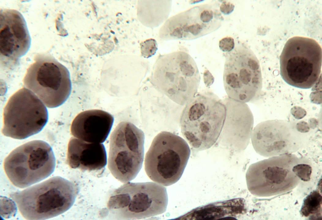 word image 30 Разработка методов индукции полиплоидии картофеля in vitro
