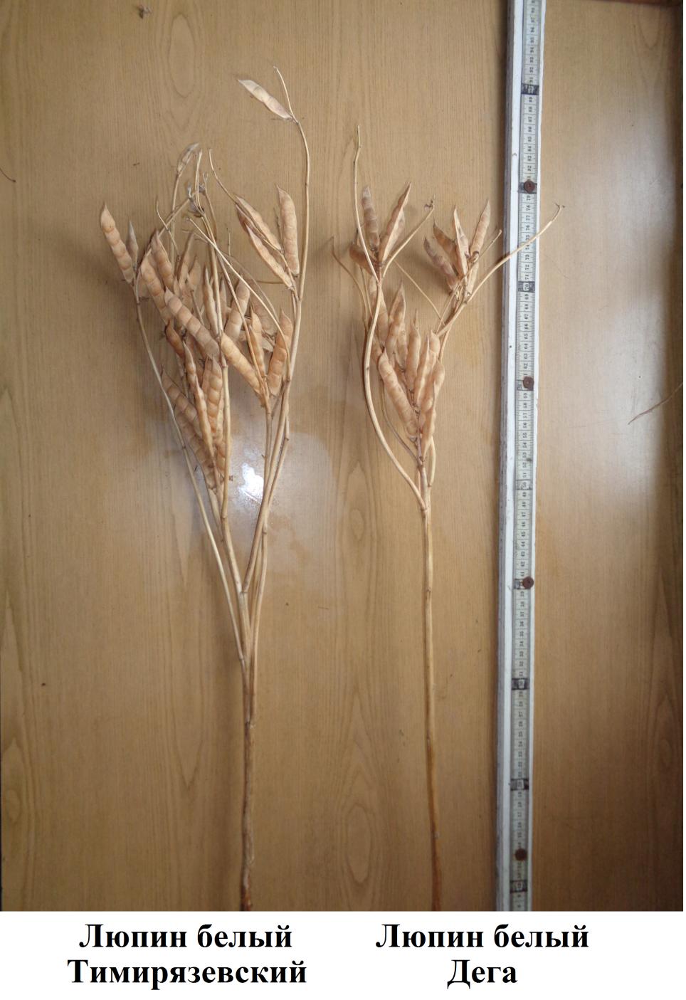 word image 788 Создание на основе адаптивной селекции сортов белого люпина (Lupinus albus L.)  с детерминантным типом роста, обладающих высокой адаптивностью, ус тойчивостью к болезням, технологичностью и содержанием в зерне протеина 38-42%, обеспечивающих сбор белка с урожаем семян 12-15 ц/га без внесения азотных удобрений