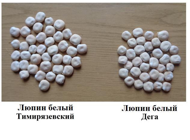 word image 791 Создание на основе адаптивной селекции сортов белого люпина (Lupinus albus L.)  с детерминантным типом роста, обладающих высокой адаптивностью, ус тойчивостью к болезням, технологичностью и содержанием в зерне протеина 38-42%, обеспечивающих сбор белка с урожаем семян 12-15 ц/га без внесения азотных удобрений