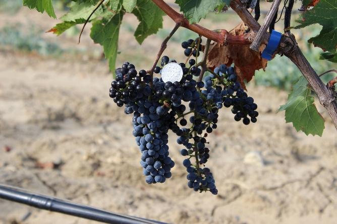 word image 89 Исследование сортов нового поколения и разработка комплекса технологических решений по биологическому виноградарству и виноделию