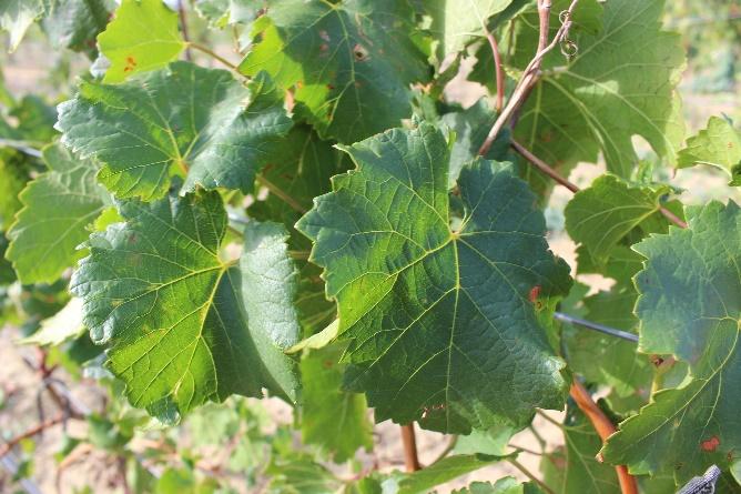 word image 90 Исследование сортов нового поколения и разработка комплекса технологических решений по биологическому виноградарству и виноделию