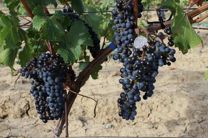 word image 92 Исследование сортов нового поколения и разработка комплекса технологических решений по биологическому виноградарству и виноделию