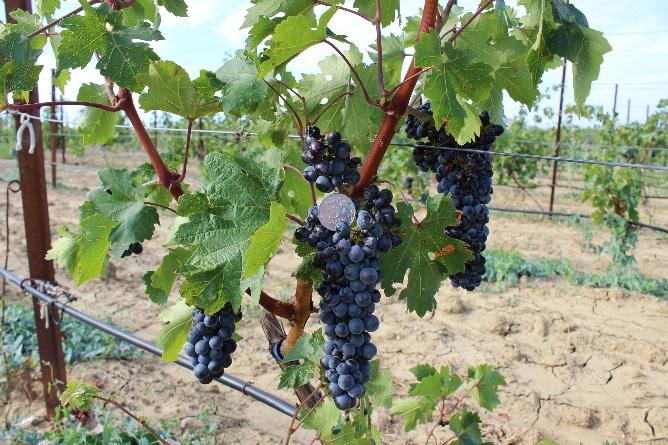 word image 93 Исследование сортов нового поколения и разработка комплекса технологических решений по биологическому виноградарству и виноделию