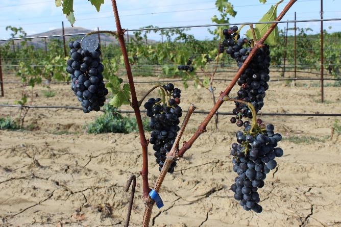 word image 95 Исследование сортов нового поколения и разработка комплекса технологических решений по биологическому виноградарству и виноделию