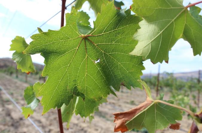 word image 96 Исследование сортов нового поколения и разработка комплекса технологических решений по биологическому виноградарству и виноделию