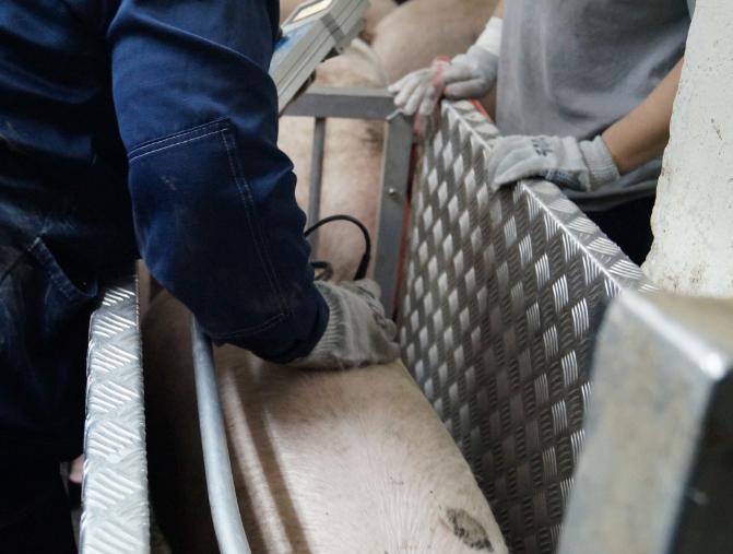 word image 523 Разработка инновационных технологий повышения продуктивности и качества продукции свиноводства