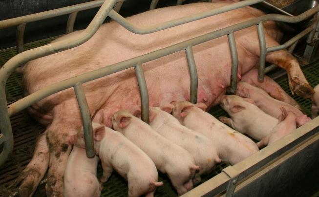 word image 536 Разработка инновационных технологий повышения продуктивности и качества продукции свиноводства