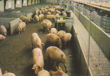 word image 543 Разработка инновационных технологий повышения продуктивности и качества продукции свиноводства