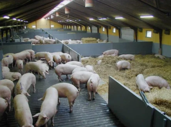 word image 553 Разработка инновационных технологий повышения продуктивности и качества продукции свиноводства