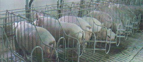 word image 554 Разработка инновационных технологий повышения продуктивности и качества продукции свиноводства