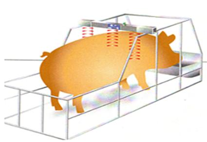 word image 555 Разработка инновационных технологий повышения продуктивности и качества продукции свиноводства