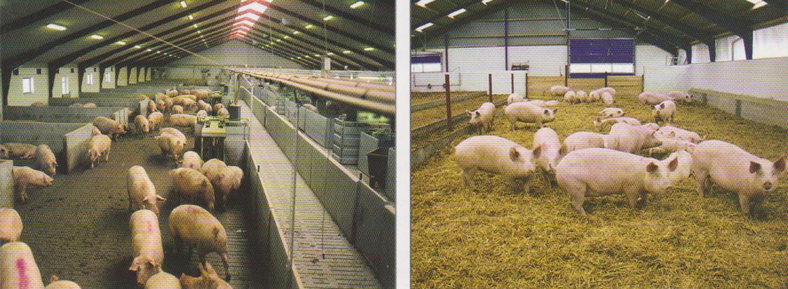 word image 561 Разработка инновационных технологий повышения продуктивности и качества продукции свиноводства