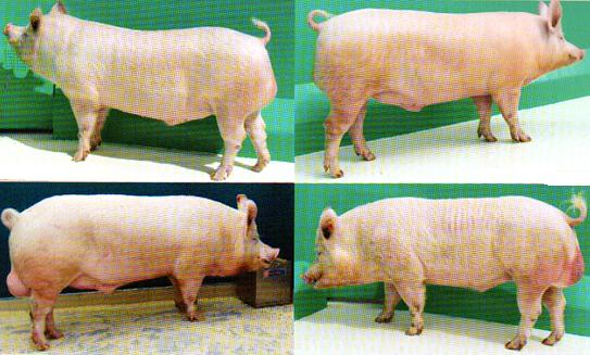 word image 572 Разработка инновационных технологий повышения продуктивности и качества продукции свиноводства