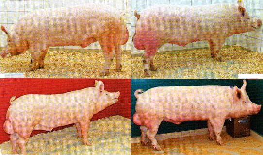 word image 573 Разработка инновационных технологий повышения продуктивности и качества продукции свиноводства