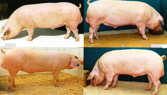 word image 574 Разработка инновационных технологий повышения продуктивности и качества продукции свиноводства