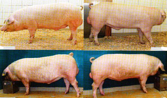 word image 575 Разработка инновационных технологий повышения продуктивности и качества продукции свиноводства