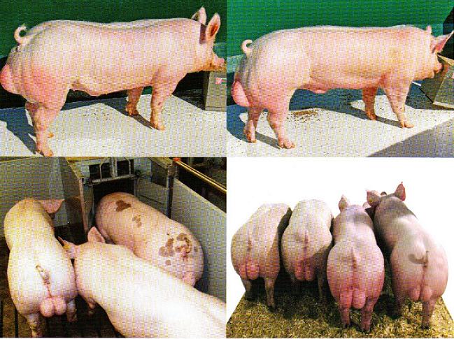 word image 577 Разработка инновационных технологий повышения продуктивности и качества продукции свиноводства