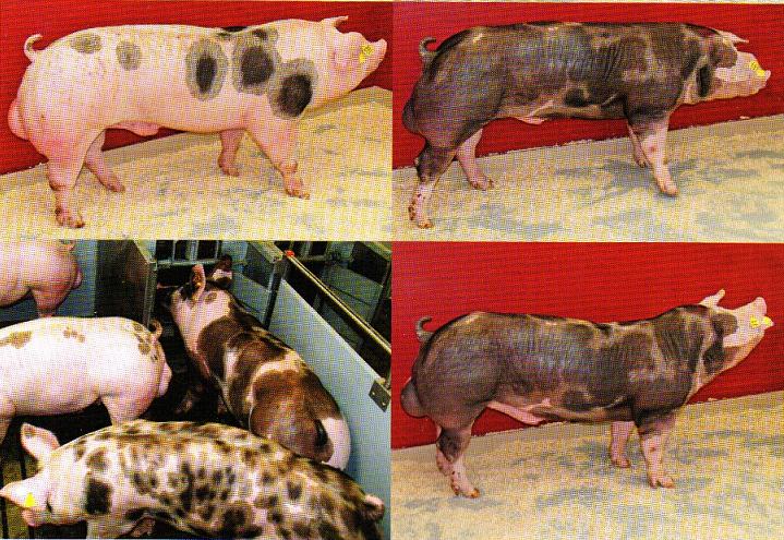 word image 578 Разработка инновационных технологий повышения продуктивности и качества продукции свиноводства