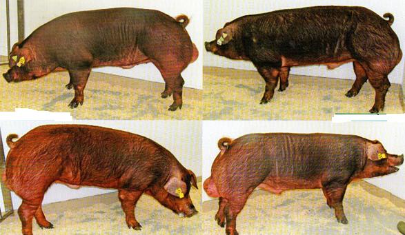 word image 584 Разработка инновационных технологий повышения продуктивности и качества продукции свиноводства