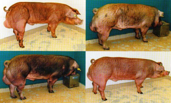 word image 585 Разработка инновационных технологий повышения продуктивности и качества продукции свиноводства