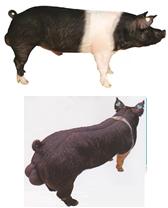 word image 586 Разработка инновационных технологий повышения продуктивности и качества продукции свиноводства