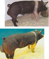 word image 587 Разработка инновационных технологий повышения продуктивности и качества продукции свиноводства
