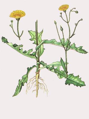 word image 625 Разработка и апробация технологии органического выращивания овощных культур, основанной на принципах аллелопатии