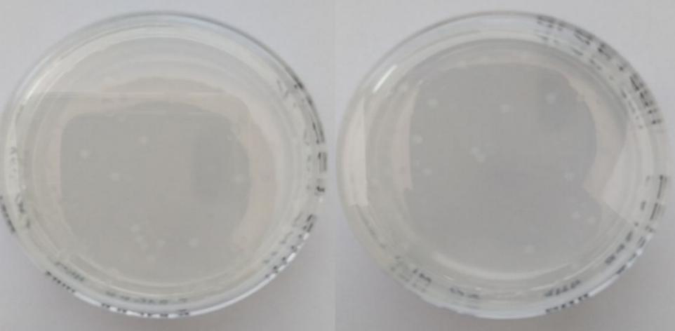 word image 1063 Использование методов редактирования генома CRISPR/CAS для повышения продуктивности сельскохозяйственных животных. II этап – разработка методики внесения генетических конструкций в геном сельскохозяйственных животных
