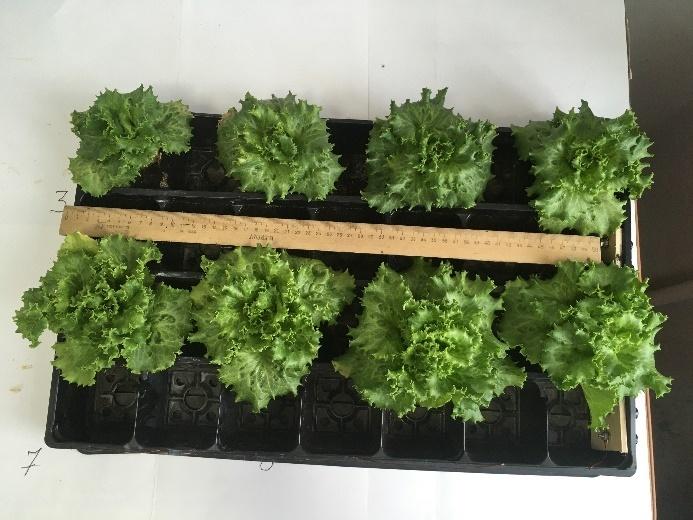 word image 111 Разработка комплекса энергосберегающих элементов технологии выращивания овощных культур в условиях высокотехнологичных культивационных сооружений
