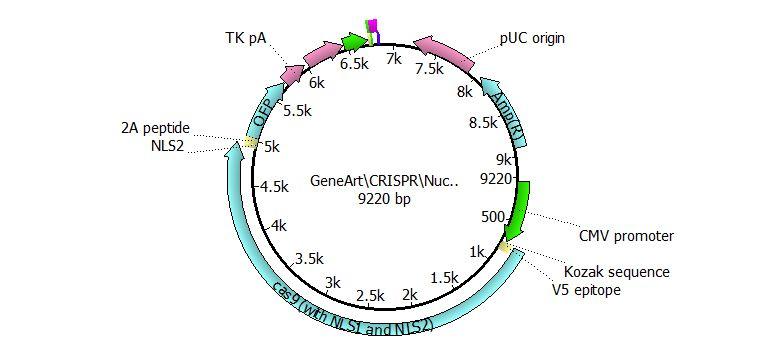 word image 185 Использование методов редактирования генома CRISPR/CAS для повышения продуктивности сельскохозяйственных животных. II этап – разработка методики внесения генетических конструкций в геном сельскохозяйственных животных