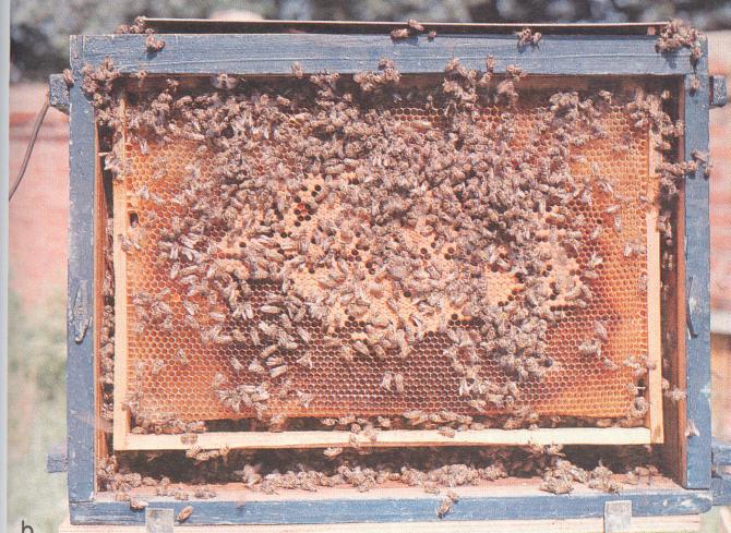 word image 457 Исследование влияния на репродуктивную функцию пчелиных маток и активность сперматогенеза трутней функциональных кормовых добавок, потребляемых пчелиными семьями