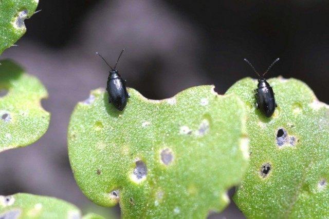 Блошки крестоцветные (Phyllotreta cruciferae) на погрызенном листе капусты