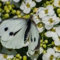Капустница, или белянка капустная (Pieris brassicae)