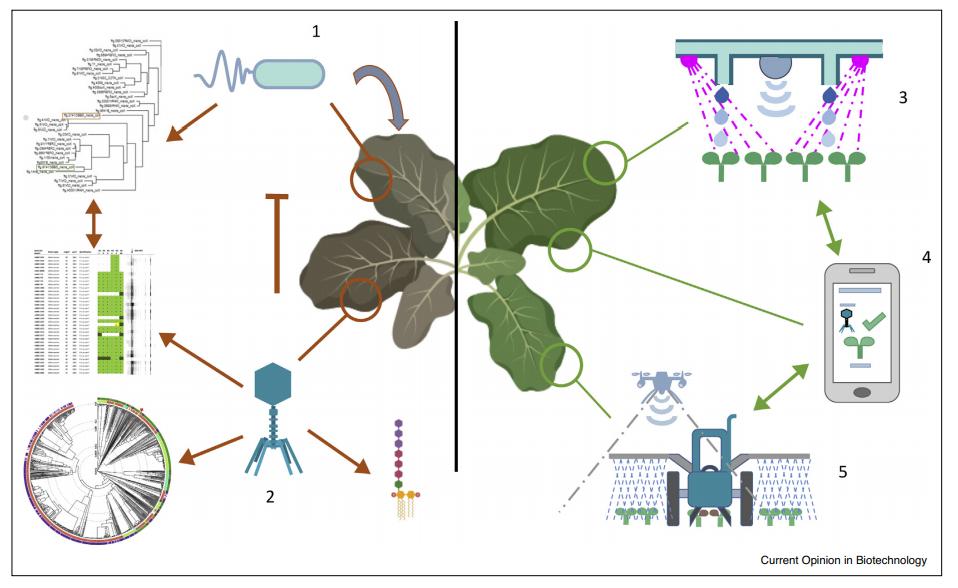 word image 1196 Разработка бактериофагового биопрепарата для биоконтроля Pseudomonas syringae в растениеводстве