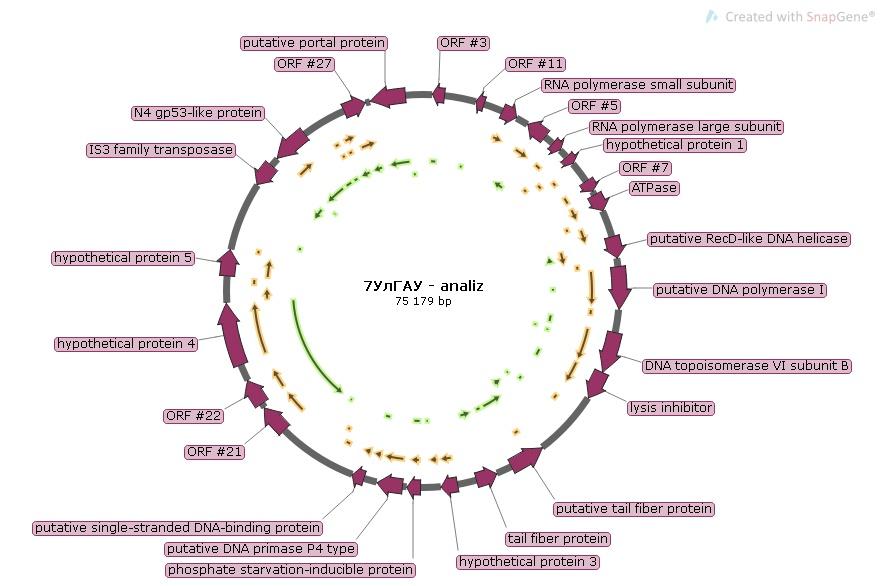 word image 1197 Разработка бактериофагового биопрепарата для биоконтроля Pseudomonas syringae в растениеводстве